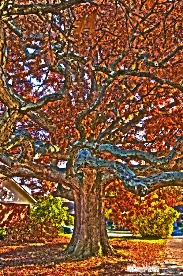 The Brisbane oak tree as art. Photo Copyright Gary Gardiner. Not be used without written permission detailing exact usage.
