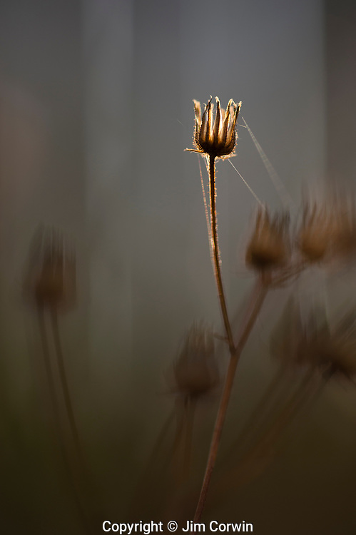 Dandelion stem backlit at sunrise