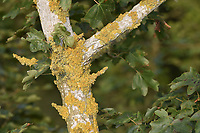 Xanthoria parietina - on tree bark (Field Maple)