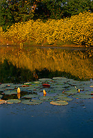 Late summer:   Lake with gold water lily buds and matching blooming yellow wild tickseed (Bidens sp) sunflowers suggest both cool and warmth Midwest USA