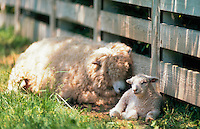 Young lamb resting sweetly aginst a fence with sheep.