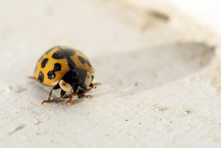Yellow lady bug close-up.