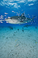 RW2978-D. Tiger Shark (Galeocerdo cuvier), escorted by a school of juvenile jacks. Bahamas, Atlantic Ocean.<br /> <br /> Photo Copyright &copy; Brandon Cole. All rights reserved worldwide.  www.brandoncole.com