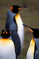 King penguins at a rookery on the Falkland Islands.