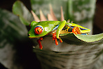 Red-eyed treefrog, South America