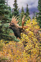 Bull Moose, scents for cow during mating season, Denali National Park, Alaska