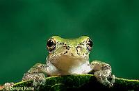 FR10-038z  Gray Tree Frog - Hyla versicolor