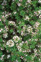 Daphne x burkwoodii 'Carol Mackie' plant shrub in flower