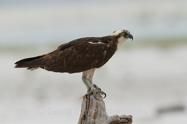 Oiled Osprey (Pandion haliaetus). Most birds species that depend on the Gulf of Mexico for food have been affected by the oil spill. Gulf Islands National Seashore, Florida. June.