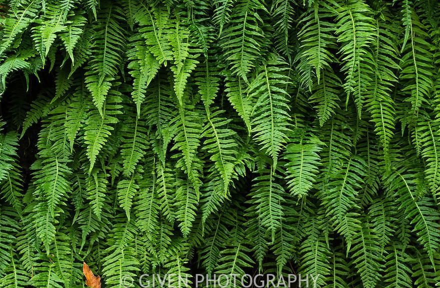 Licorce Ferns, Oregon