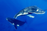 humpback whale, Megaptera novaeangliae, socializing, Kingdom of Tonga, South Pacific Ocean