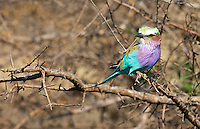 The lilac-breasted roller is one of Africa's most beautiful birds, and it's actually quite common.