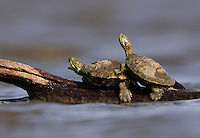 Red-eared Slider (Trachemys scripta elegans), adults sunning on log, Dinero, Lake Corpus Christi, South Texas, USA