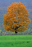 Maple tree in Autumn, New Hampshire, USA