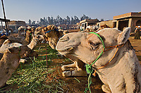 Camels feeding, camel market, Cairo, Egypt