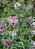 Variegated flowering shrub Weigelia florida 'Variegata' in San Francisco Botanical Garden