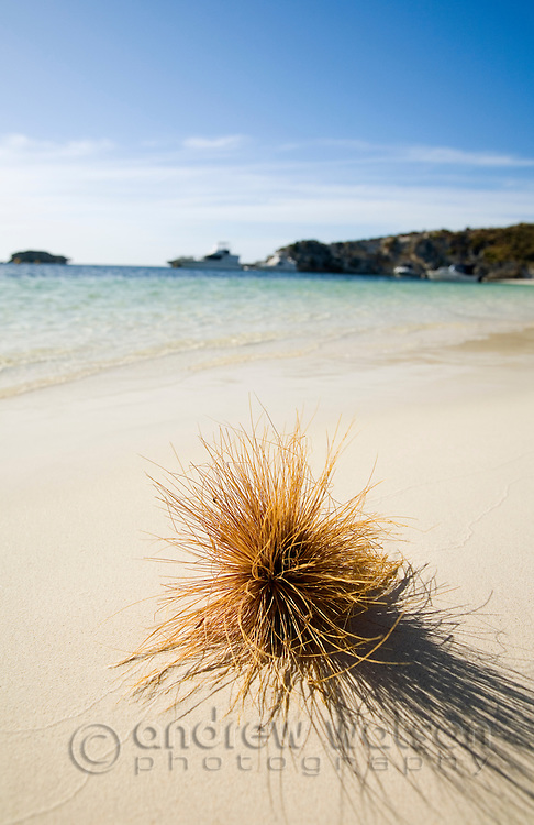 Seed pod on the beach at Geordie Bay.  Rottnest Island, Western Australia, AUSTRALIA.