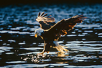 Bald eagle (Haliaeetus leucocephalus) fishing.