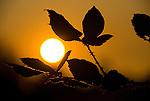 Blackberry bush silhouette and setting sun