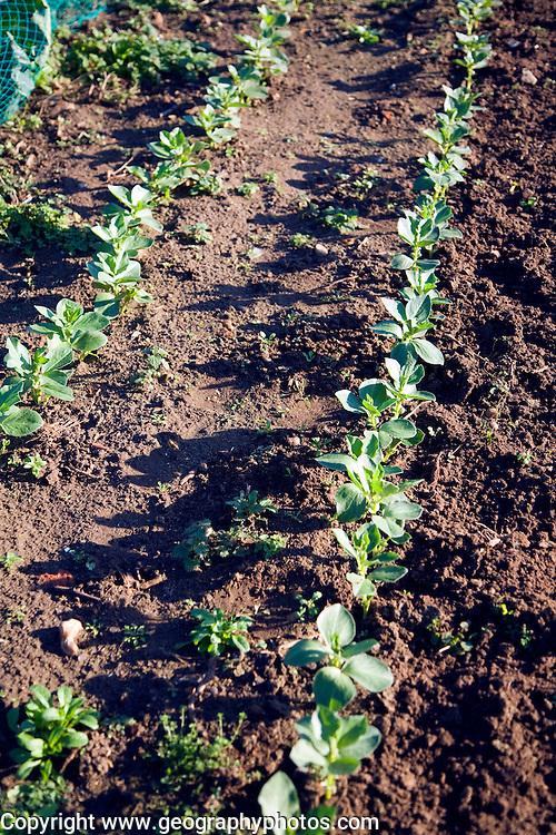 Broad bean plants growing in winter allotment gardens, Shottisham, Suffolk, England
