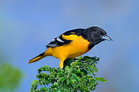 561920073 a wild breeding plumaged male baltimore oriole icterus galbula perches on a small tree on south padre island cameron county texas