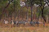 Zebra's in Kafue Miombo Woodland terrain