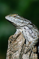 442300002 a wild texas spiny lizard sceloporus olivaceus perches on a mequite log in the rio grande valley of south texas