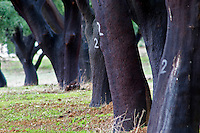 Cork oak tree forest. Quinta do Carmo, Estremoz, Alentejo, Portugal