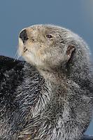 Alaskan or Northern Sea Otter (Enhydra lutris)