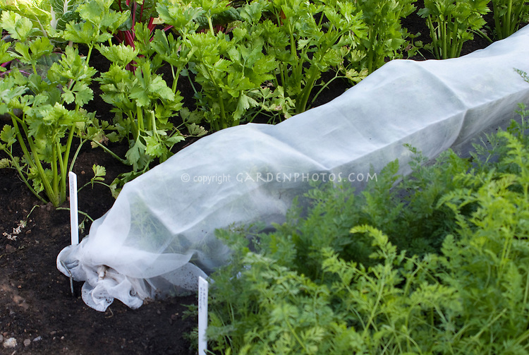 Floating Row cover protecting growing carrot plants in vegetable garden, next to celery and chard