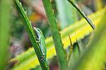 Dole Plantation Gecko, Oahu, Hawaii