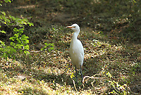 Great-egret walking in dense jungle
