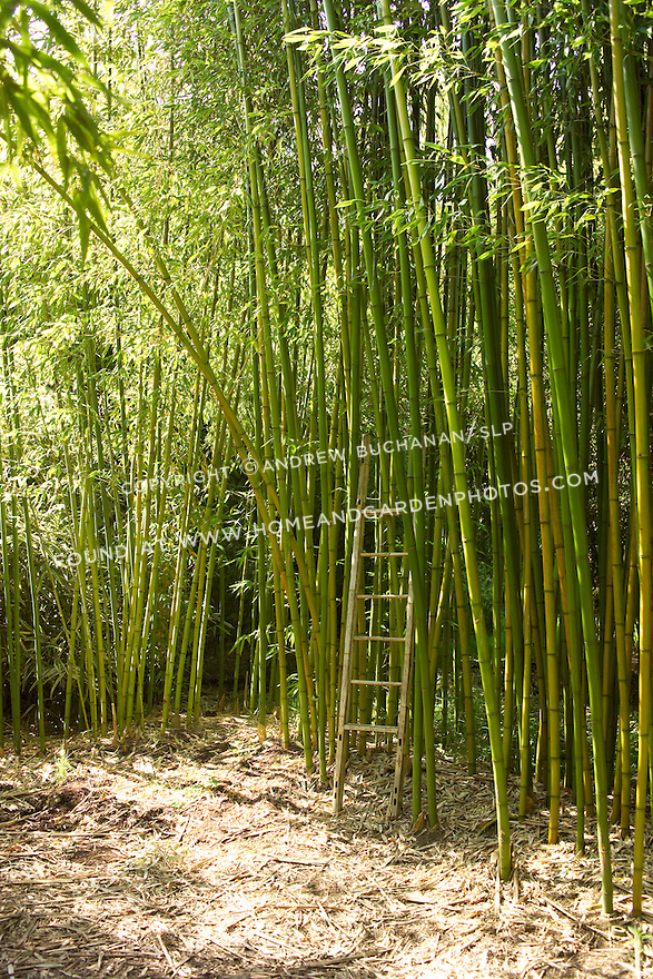 "An eight foot bamboo ladder stands dwarfed amid a tall-growing forest of Rubro bambooo, Phyllostachys rubromarginata.  Rubro can reach 55' tall in its native habitat, with each culm, or stalk, reaching nearly 3"" in diameter.  It is hardy to USDA zone 6, prefers full sun, and is drought tolerant when established.  Rubro bamboo is noted for the quality of its wood, and its shoots are edible and tender."