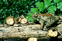 Blanchards cricket rog, Acris crepitans blancharrdi, with white egg birds nest mushrooms, crucibulum laeve, Missouri USA