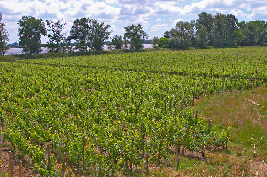 The vineyard of Chateau Roc de Cambes and a view over the Dordogne river Gironde  Cotes de Bourg  Bordeaux Gironde Aquitaine France