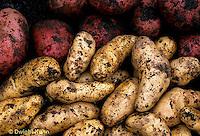 HS05-029c   Potato - Banana and Norland varieties