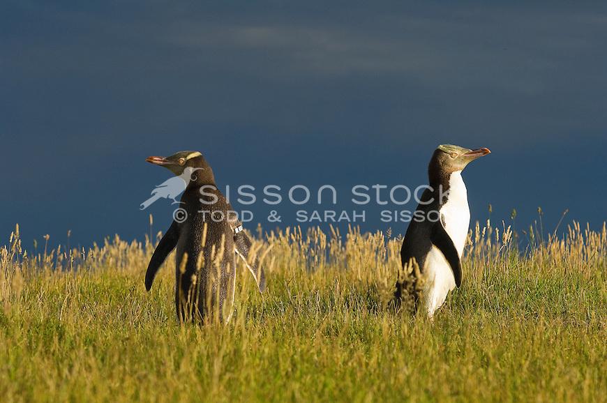 Yellow Eyed Penguin, Moeraki, Otago, New Zealand