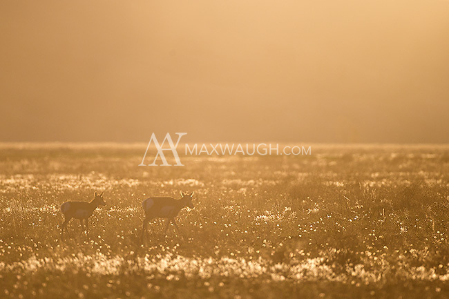 Pronghorns photographed on a Wyoming morning.