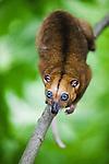 Dwarf cuscus (Strigocuscus celebensis) climbing in tree, marsupial, close-up, Indonesia, Sulawesi, vulnerable species, threatened through loss of habitat