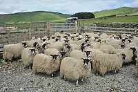 Scottish Blackface ewe lambs, Moffat, Scottish Borders...Copyright..John Eveson, Dinkling Green Farm, Whitewell, Clitheroe, Lancashire. BB7 3BN.01995 61280. 07973 482705.j.r.eveson@btinternet.com.www.johneveson.com