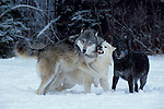 Timber or Grey Wolf ( Canis Lupus ) - Minnesota  USA  .wolves showing submissive & dominant behaviour.USA....