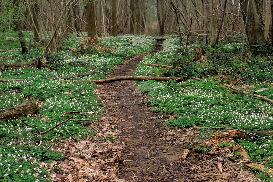 Bos anemoon (Anemone nemorosa) op de Cannerberg