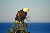Bald Eagle (Haliaeetus leucocephalus) calling from top of tree.