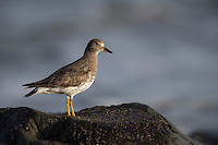 Surfbird (Aphriza virgata) in winter plumage foraging on Cayucos Beach in Cayucos, California.