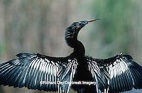 00680-00618 Anhinga (Anhinga anhinga) male, drying wings Everglades NP   FL