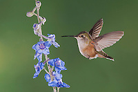 Broad-tailed Hummingbird, Selasphorus platycercus,female in flight feeding on Larkspur flower(Delphinium sp.),Rocky Mountain National Park, Colorado, USA, June 2007
