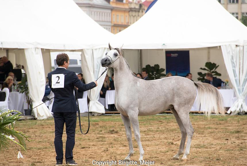 D Feddah, Arabian yearling Fillie, in the show ring at Prague Intercup - Arabian Horse Show 2017, in Prague The Czech Republic