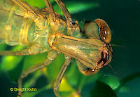 1O10-010a  Mosaic Darner Dragonfly Nymph - close-up of lower lip [labial mask] used to catch prey - Aeshna spp.