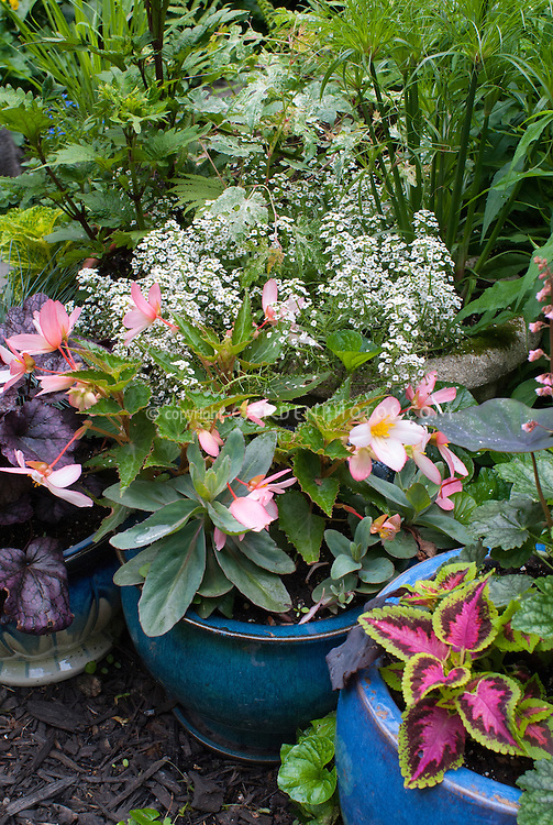 Container gardens pots, Sedum, Coleus, Alyssum Lobularia, Heuchera, Begonia, Cyperus, in pretty blue pots with annuals and pernnials mixed together