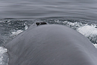 Adult fin whale (Balaenoptera physalus) sub-surface feeding in the rich waters off the continental shelf just south of Bear Island (Bjornoya) in the Barents Sea, Norway. Shown is the animal surfacing - blow holes and back detail.